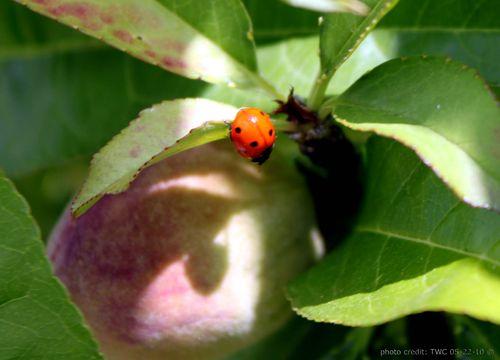 Ladybug shadow copy