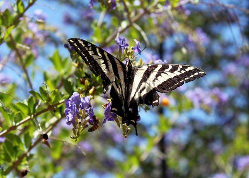 Butterfly bee starflower