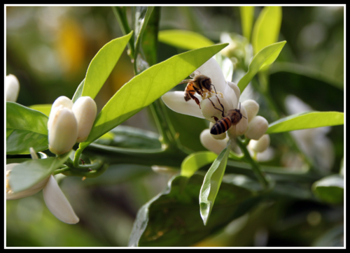 Bees and lemon flowers