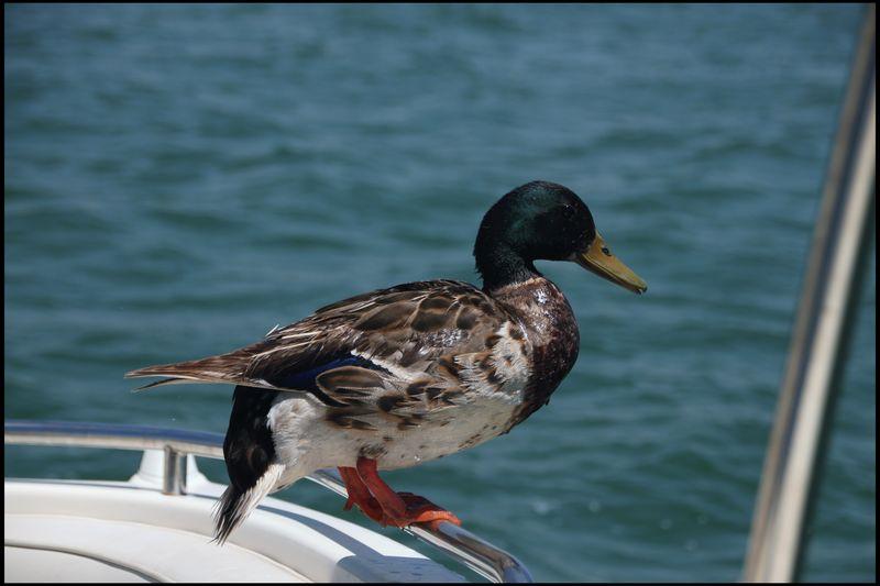 Same duck