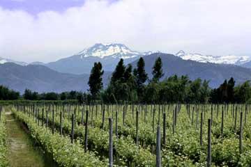 Torres_vineyard