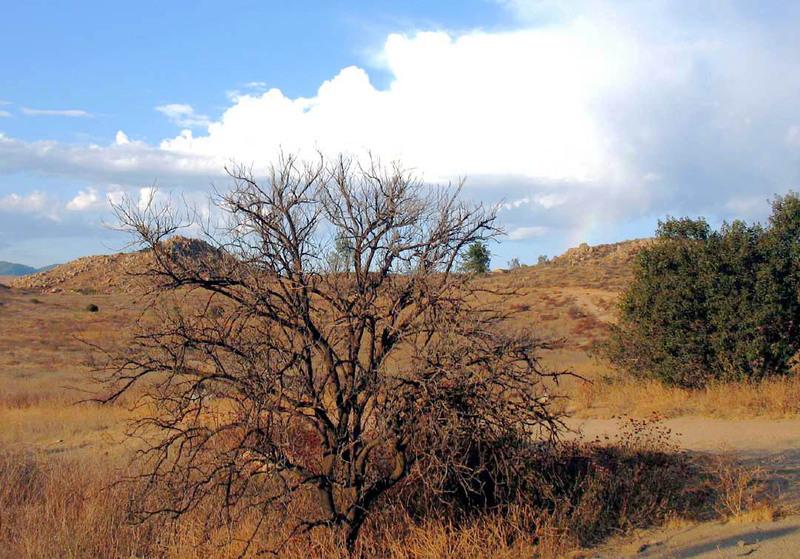 Dead_orange_tree_a