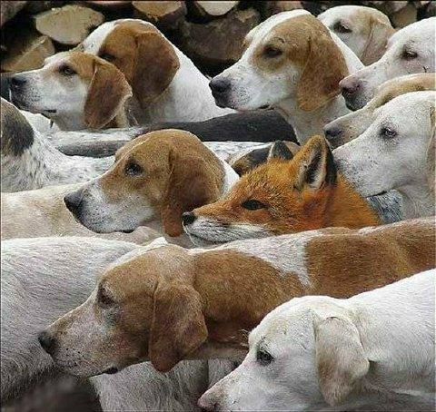 Foxdogs