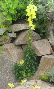 Snapdragon_rock_1