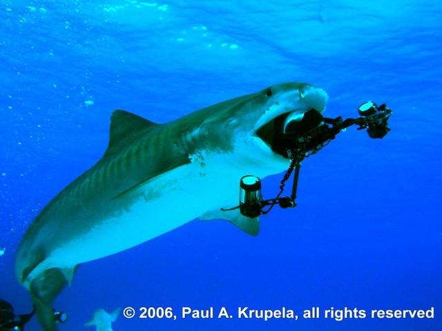 Steves_shark